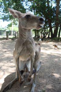 Kangoroo1