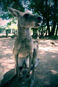 Kangoroo2